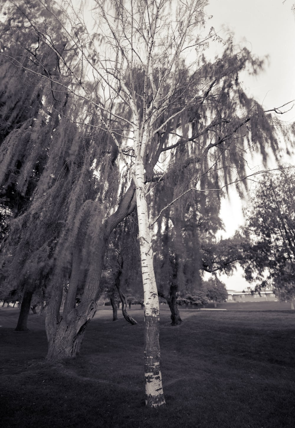 Birch, Smith Park, Rexburg, Idaho, 2004