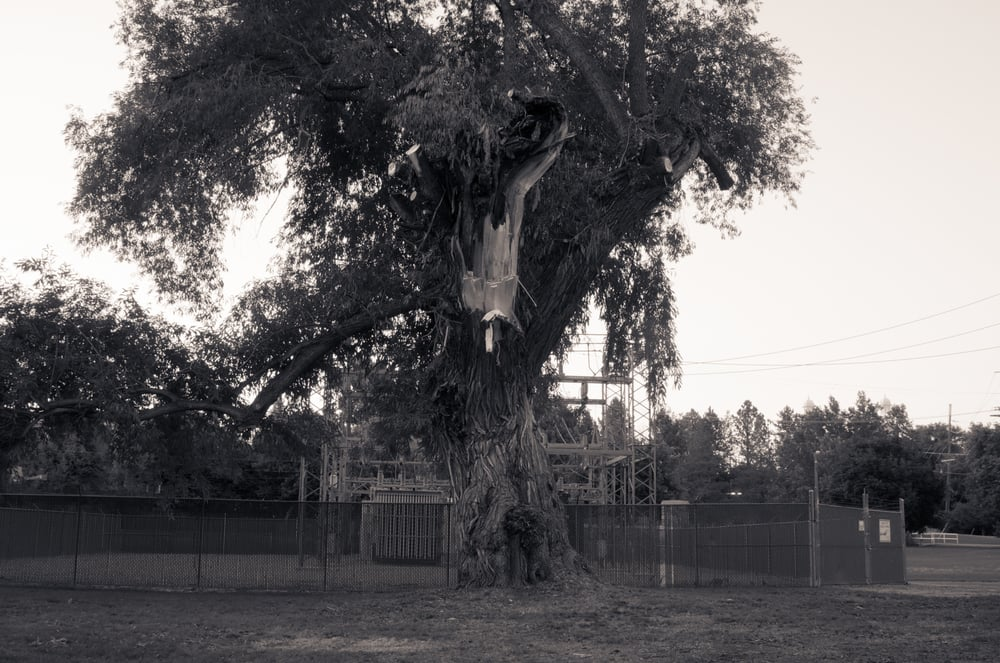 Tree Damaged by Lightning #2, Merlin Olsen Central Park, Logan, Utah, 2008