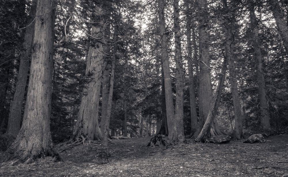 Cedars, Trail of the Cedars Nature Trail, Glacier National Park, Montana 2015