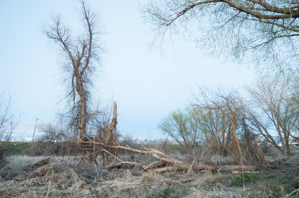 Live and Fallen Cottonwood Trees, Benson, Utah, 2016