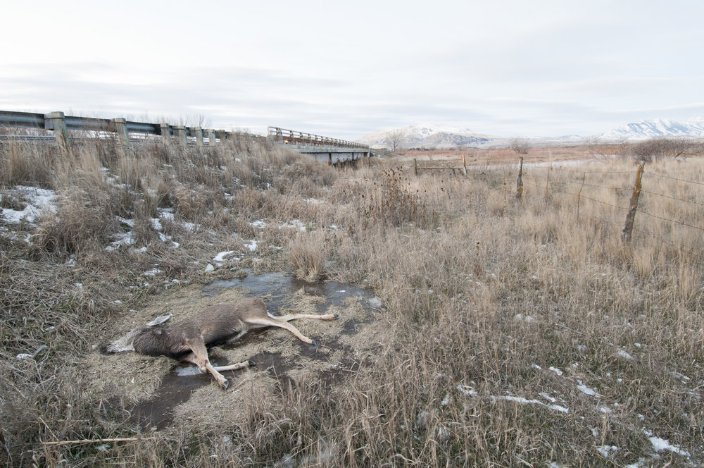 Dead Deer at Bear River Bottoms WMA, Utah, 2016