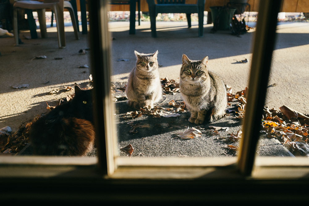Living in a rural area, the neighborhood cats roam from door to door, looking for whoever will feed them.  These cats were well fed.