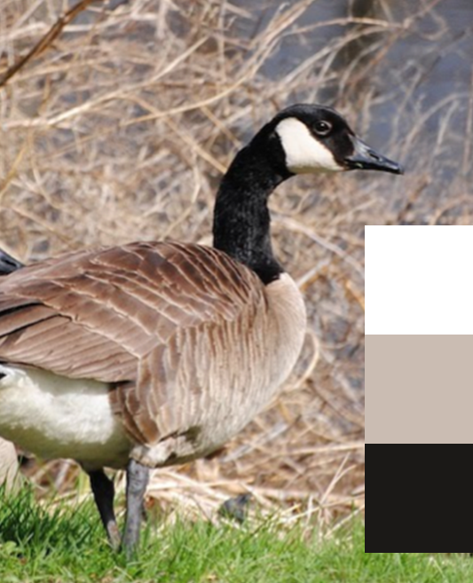 The lovely Canadian Goose