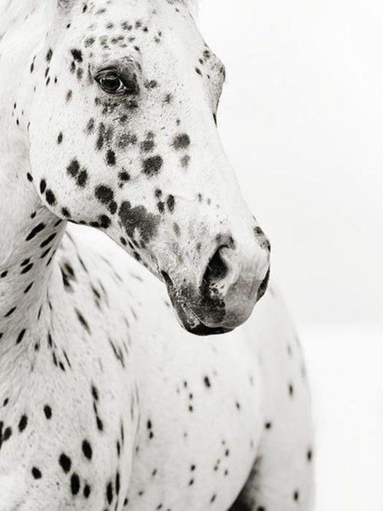 PATTERNITY_Leopard-Appaloosa_Stephanie-moon-1.jpg