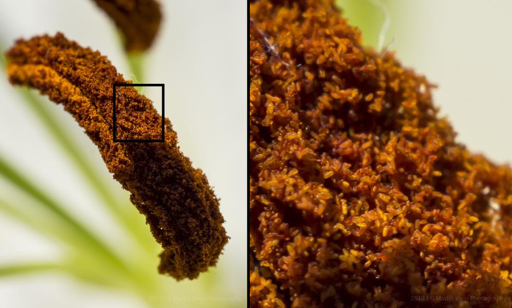 Pollen Macro