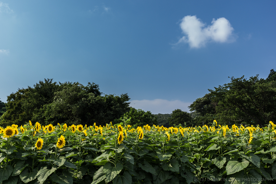 Field of Sunflowers | NEX-7 & SEL24F18 | 1/50s f/5.6 ISO100 24mm