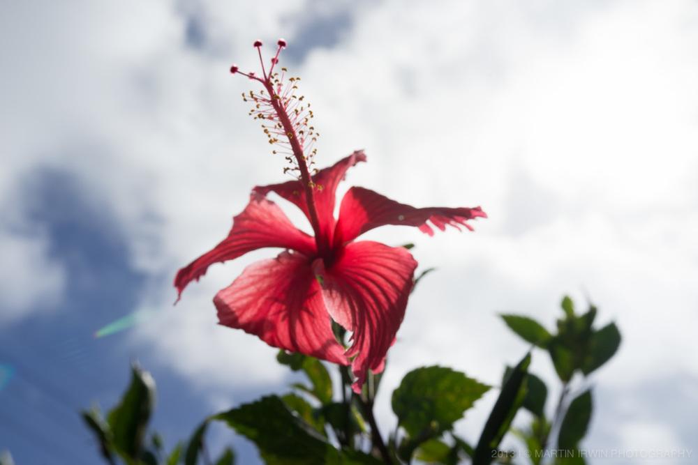 20130903-_DSC0972-hibiscus.jpg
