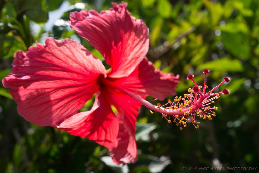 20130903-_DSC0974-hibiscus.jpg