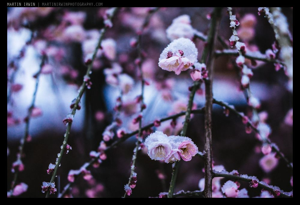 Blossoms and Snow