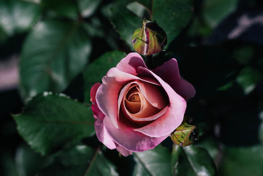 Rose | バラ | 1/400s ISO160 90mm