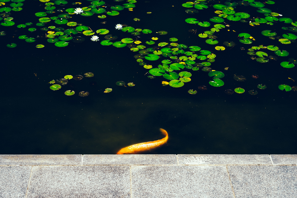 Koi | A7R & Carl Zeiss Sonnar 55mm F1.8 | 1/80s f/5.6 ISO100 55mm