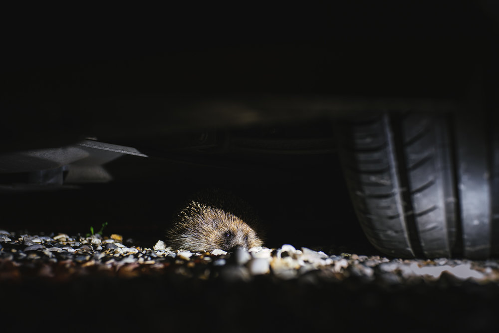 Hedgehog | A7R & Voigtländer Nokton Classic 35mm F1.4 | 35mm F2.8 0.6s ISO160