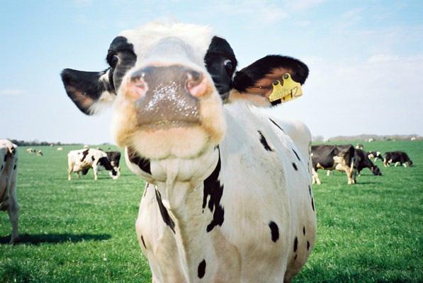 yashica cow.jpg