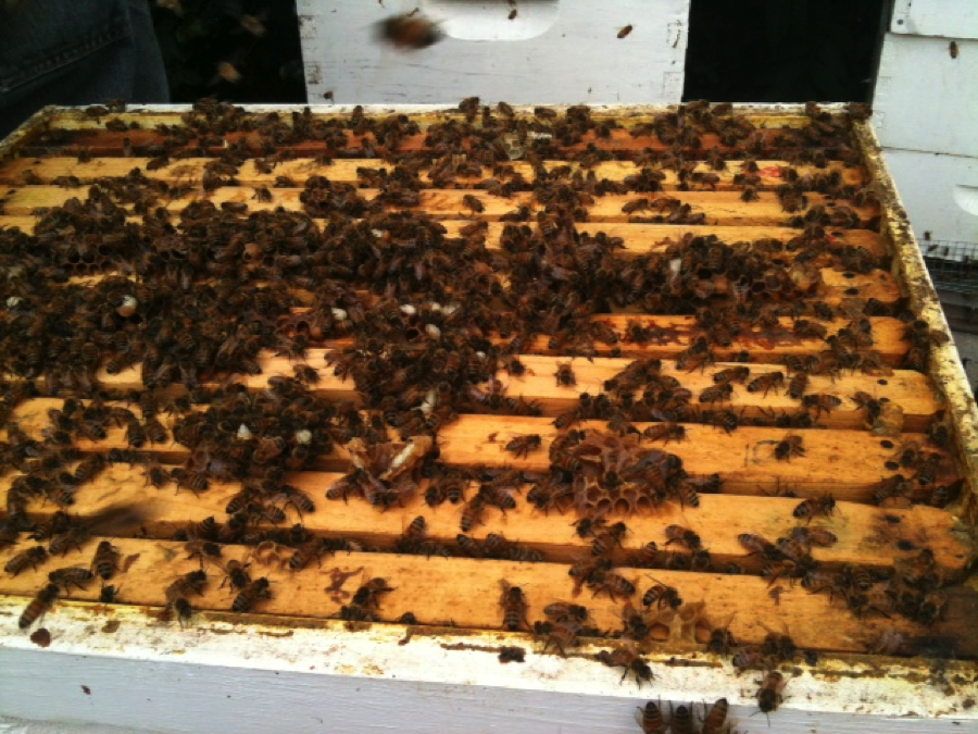 Did you know that each beehive can contain upwards of 60,000 bees?