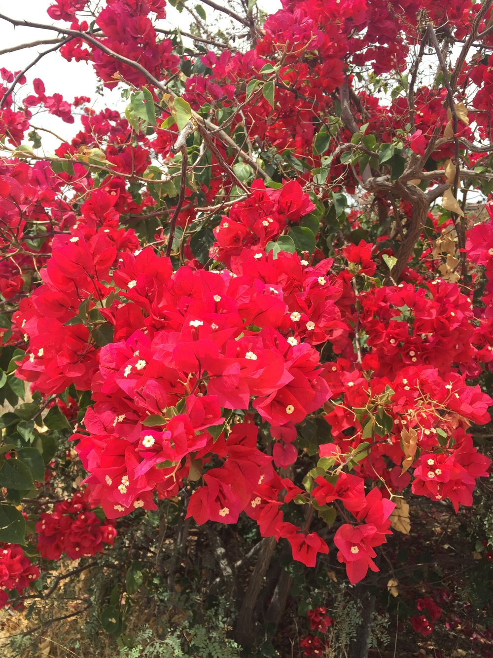 Beautiful bougainvillea on the golf course