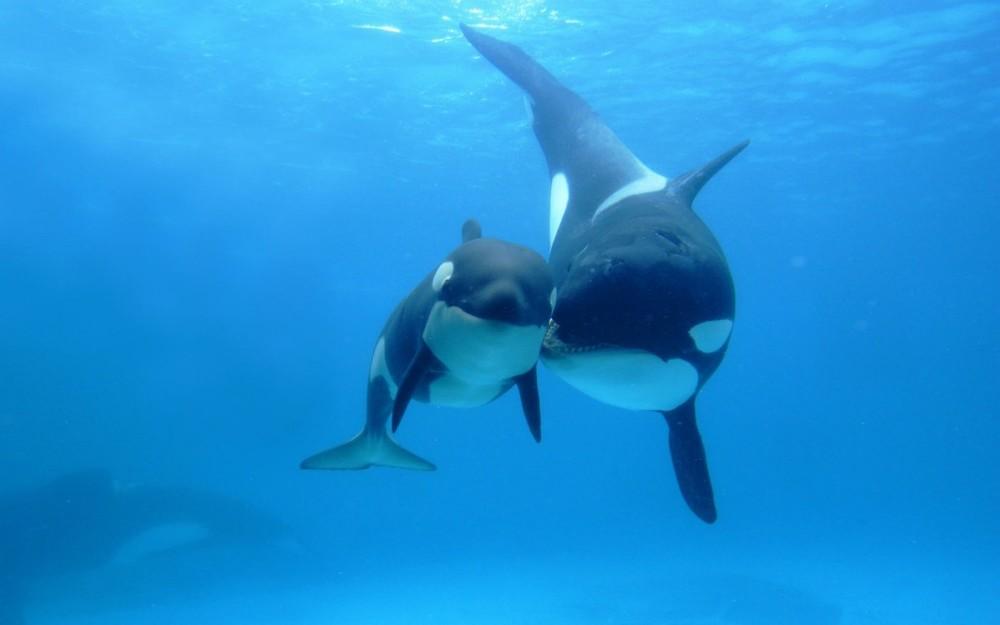 orcas-1024x640.jpg