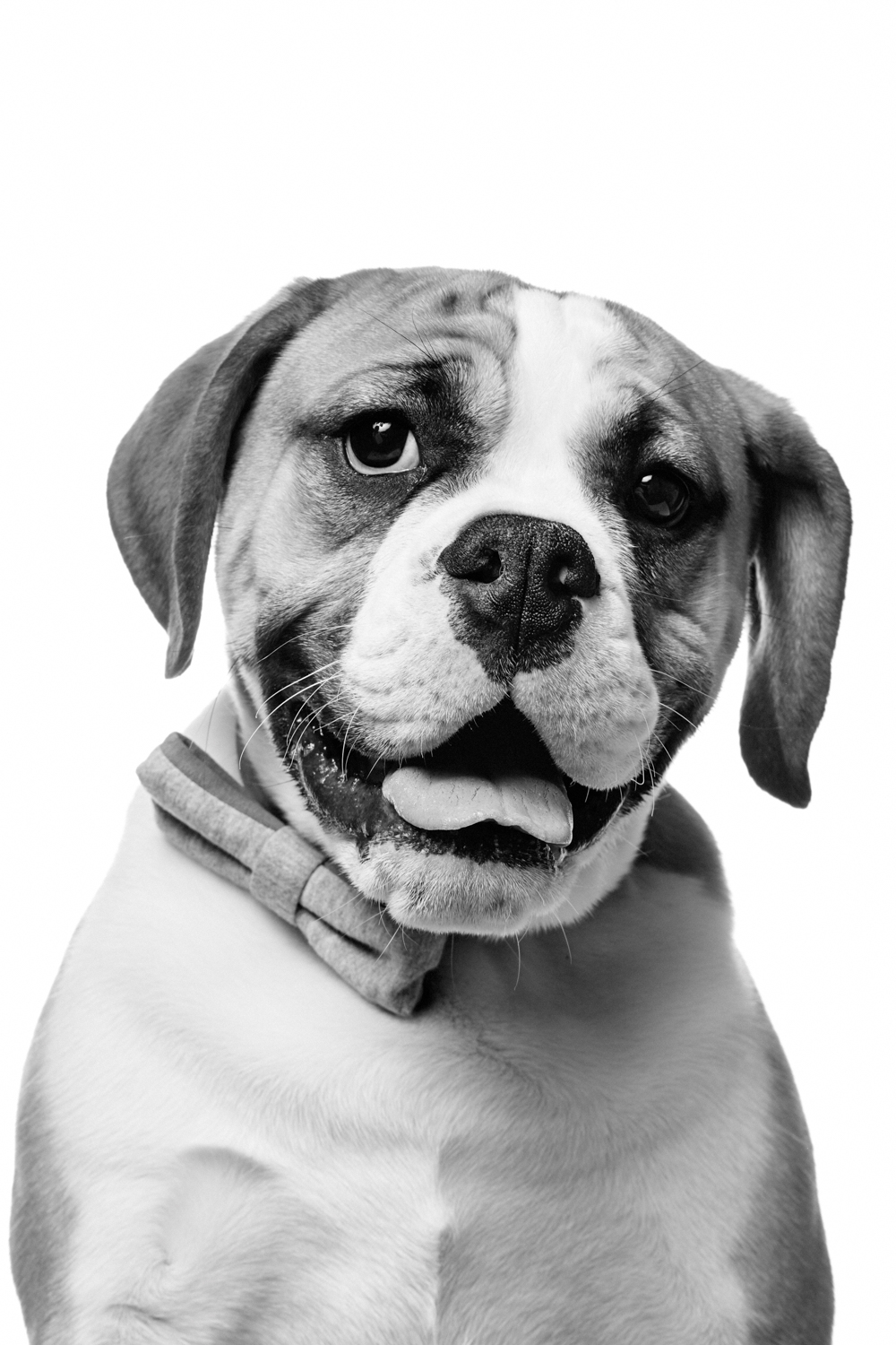 Dog photographed on white, dog with bow tie, engish bull dog