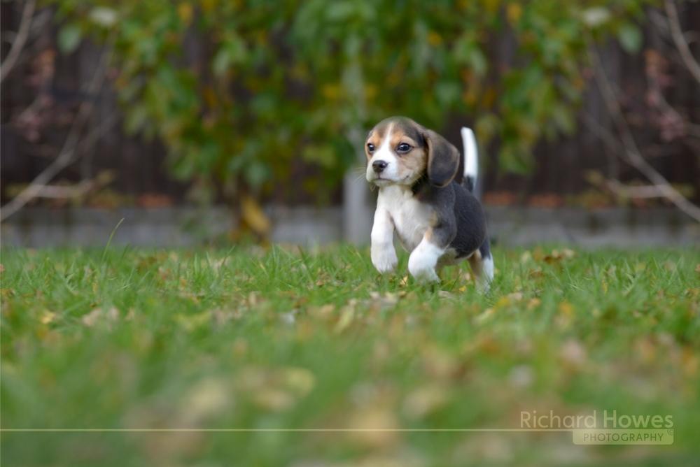 Pet dog 4.jpg