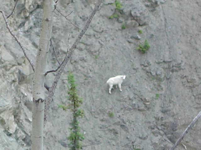 mountain_goat__01_640.jpg