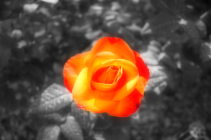 BrandVox_rose.jpg