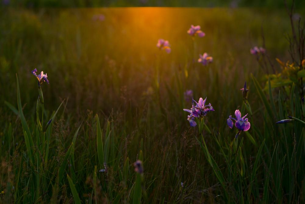 Irises. Eastport, Newfoundland 2016
