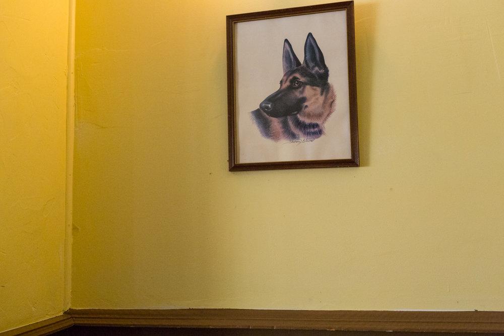 Portrait of a German Shepherd. Greenpoint, New York, 2013