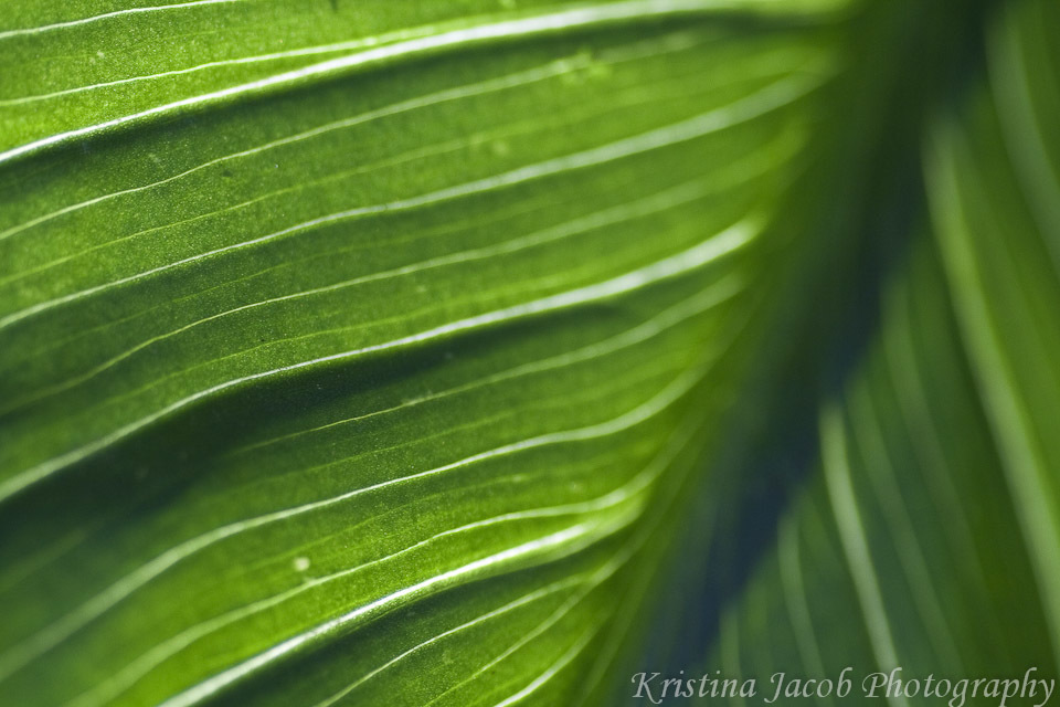 Kristina Jacob photography green leaf