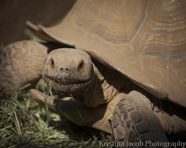 Sulcatta Tortoise
