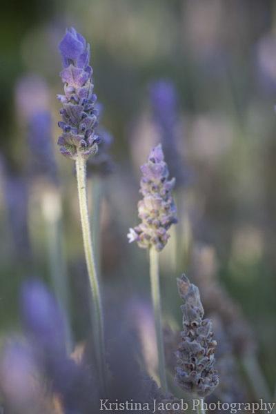 Lavender macro