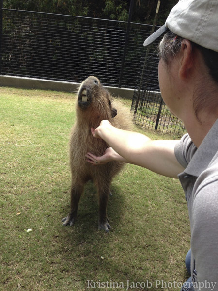 Petting a capybara