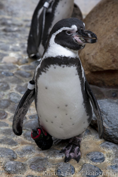 Lucky the African black footed penguin