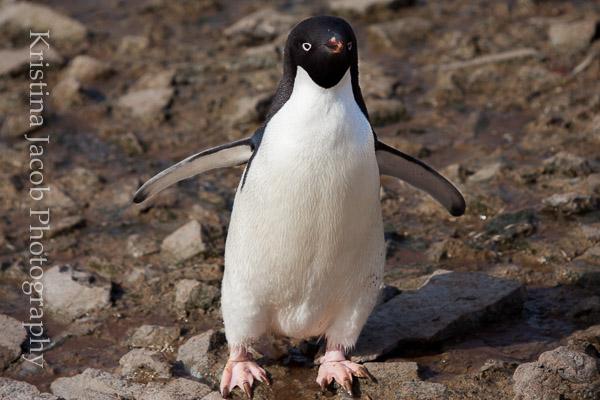 Adelie Penguin  Antarctica, December 2013