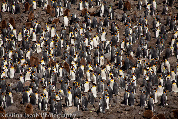 King Penguins, St. Andrews Bay December 2013