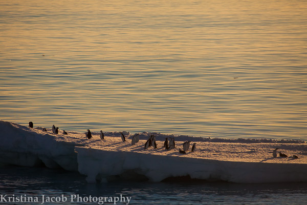 Chinstrap penguins December 2013
