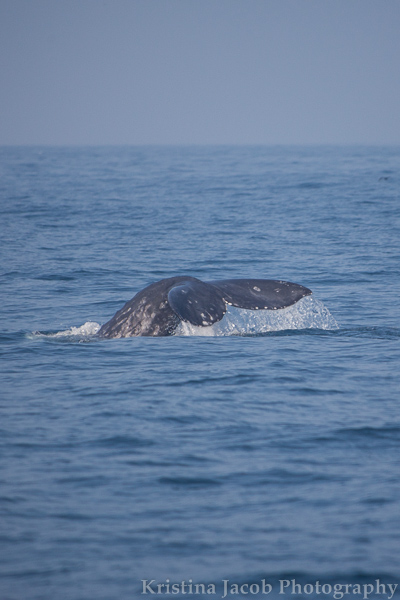 ChannelIslandsWhales-2367_low.jpg