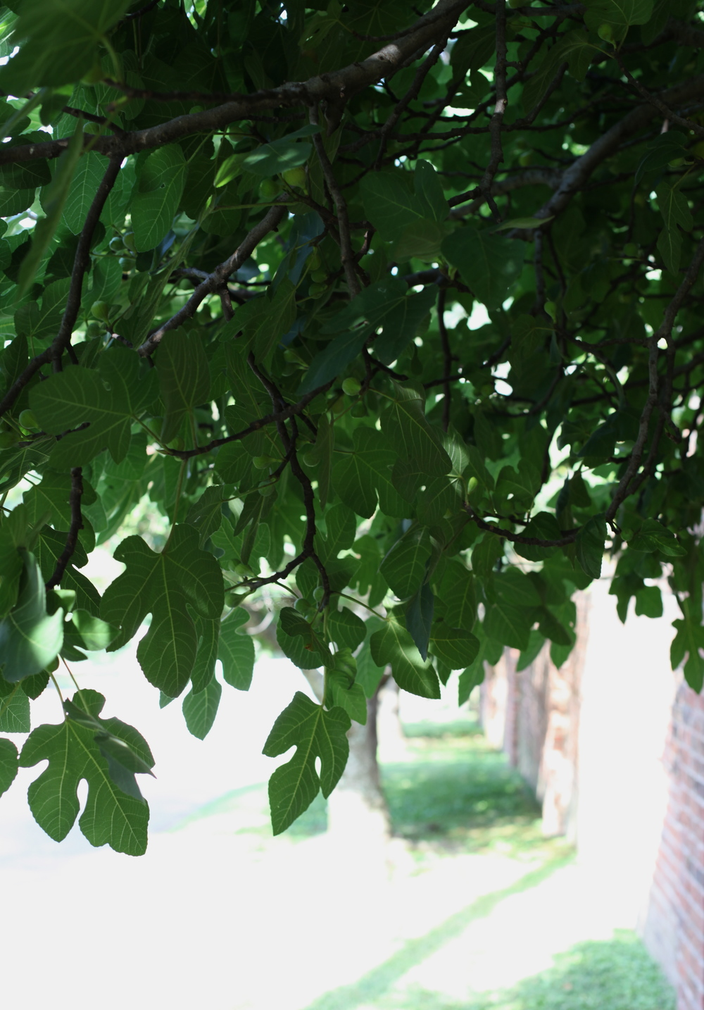 Under the shade of the fig tree