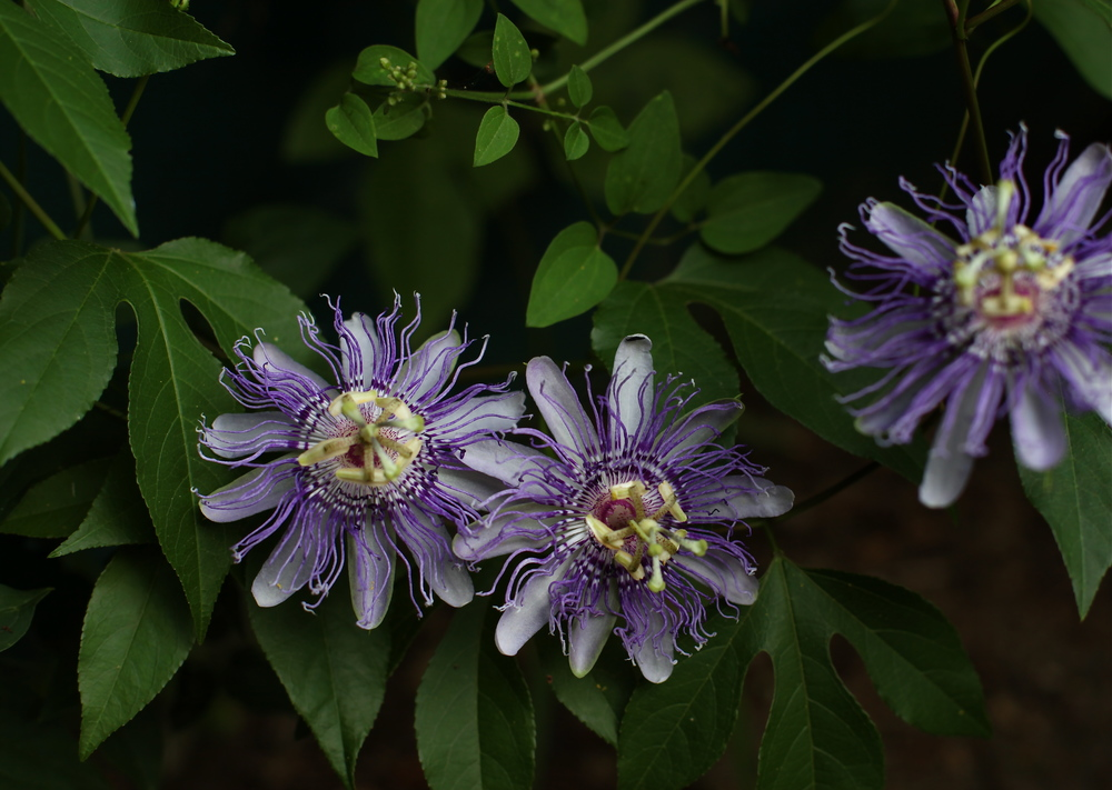 Passion Flowers, Maggie Pate