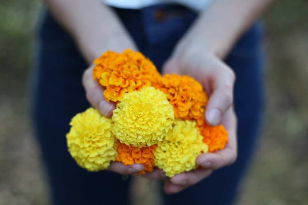 Naturally dyeing with Marigold, Wild Color Workshop