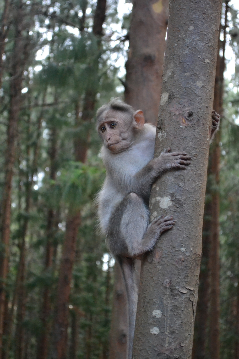 Another surprising fact about Kodaikanal - there are monkeys everywhere!