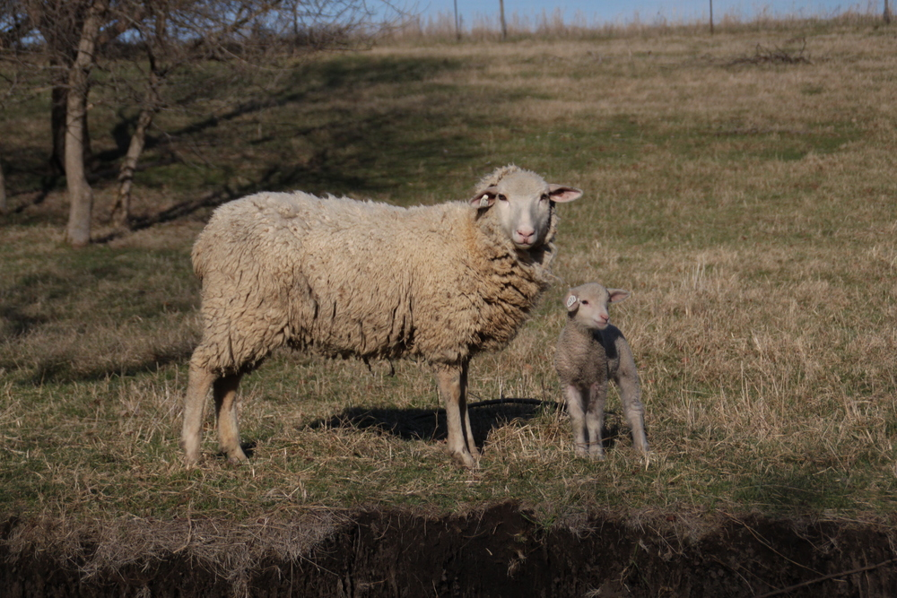 Photographer Anna Anderson / lamb and mom / for Hart & Honey