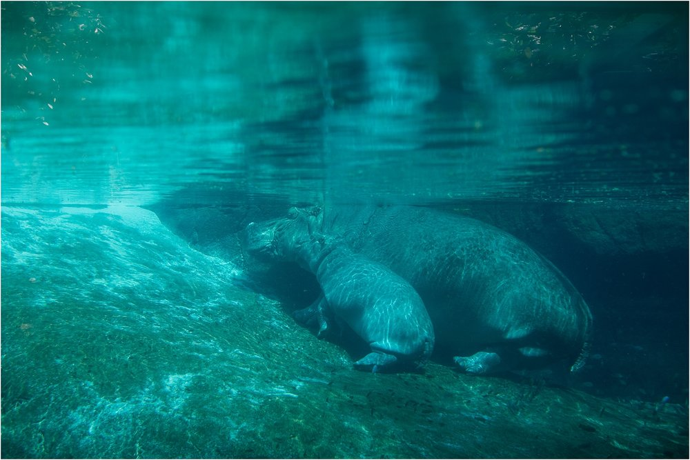 The Newest Addition to the Zoo! A baby Hippo!