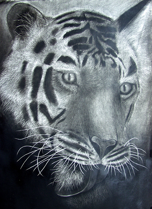 Charcoal Drawing  ::  NatGeo Tiger