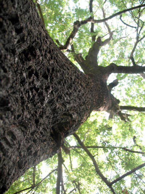 Slippery Elm tree!