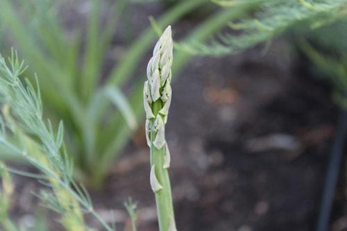 asparagus-organic.jpg