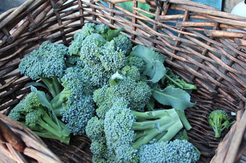 broccoli-organic.jpg
