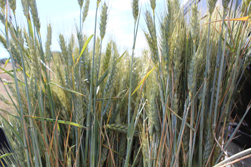 wheat-organic.jpg
