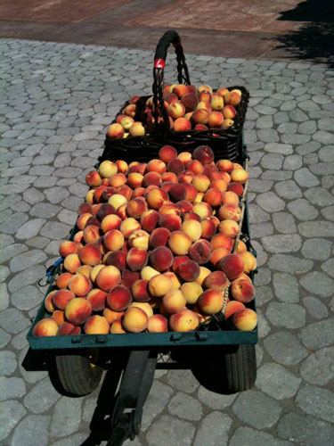 peaches-organic-templeton-farms-500.jpg
