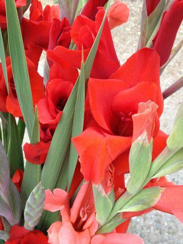 red-iris-500s.jpg