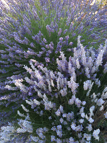 lavendar-organic.jpg
