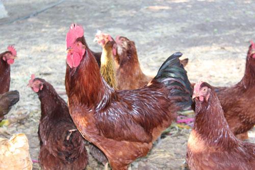 rooster-hens.jpg